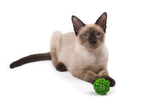 Beautiful young Siamese cat lying down, looking at the viewer Royalty Free Stock Photography
