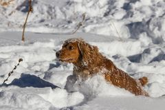 Spaniel jumping in the snow royalty free stock photo