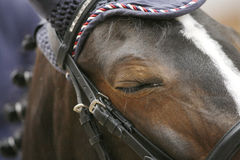 Beautiful young sport horse with closed eyes Royalty Free Stock Photography