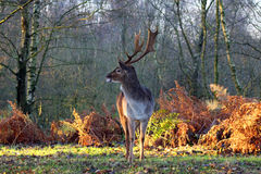 Beautiful Young Stag Deer in Forest Stock Photo