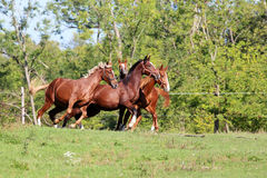 Beautiful young stallions galloping on pasture summertime. Purebred horses runs on meadow in a sunny day Royalty Free Stock Photos