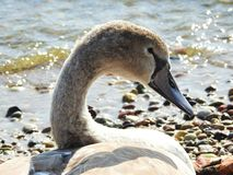 Young swan bird near Curonian spit, Lithuania royalty free stock photo