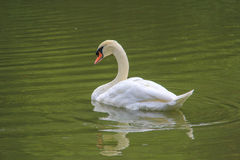 Beautiful young swans  Stock Photography