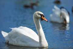 Beautiful young swans in lake Royalty Free Stock Image