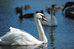 Beautiful young swans in lake Stock Image