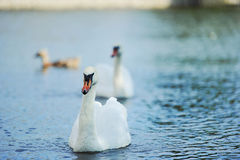 Beautiful young swans in lake. A male swan swimming on a little lake in the late afternoon Stock Photography