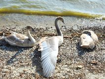 Young swan birds near Curonian spit, Lithuania royalty free stock image
