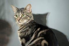 Beautiful young tabby cat Stock Photos