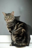 Beautiful young tabby cat Stock Photography
