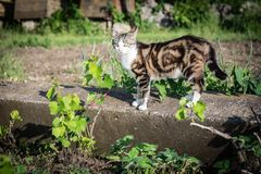 Beautiful young tabby cat walking through the garden royalty free stock photo