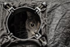 A beautiful tri-colored cat is spying out of the round hole of t. A beautiful young tri-colored cat is spying out of the round hole of the softbox as out of the Stock Photography
