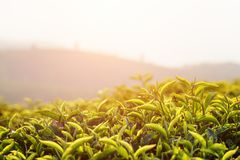 Beautiful upper green tea leaves at tea plantation at sunset. Beautiful young upper fresh bright green tea leaves at tea plantation at sunset royalty free stock images