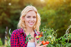 Beautiful young woman in checked red shirt harvesting tomatoes Stock Photo