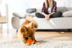 Beautiful young woman with her dog playing with ball at home. Royalty Free Stock Photos