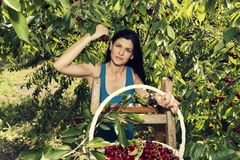 Beautiful young woman holding full white wicker basket with cherries and standing on a ladder and smiling stock image