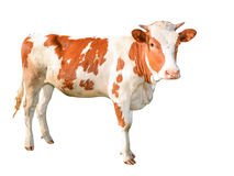 Beautiful young red and white spotted cow isolated on white. Funny red cow full length isolated on white. Farm animals. Cow looking straight royalty free stock images