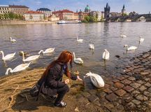 Beautiful young woman with long hair is feeding swans on Vltava river. Czech Republic.Prague. Czech Republic. Royalty Free Stock Images