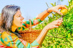 Beautiful young woman  picking clementines from her garden. Beautiful young woman is picking clementines from her garden Royalty Free Stock Images