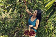 Beautiful young woman wearing blue dress and picking cherries from the tree stock photos