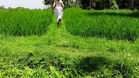 4K aerial drone shot of beautiful young woman in white dress running on a rice field. Bali island. Indonesia. royalty free stock photo
