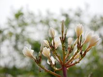 Close up of beautiful young yellowish white Plumeria Frangipani, Temple Tree, or Graveyard Tree flowers on a defocus background. Beautiful young yellowish white royalty free stock image