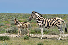 Beautiful young zebra with mum Stock Image