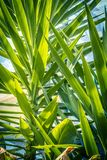 Beautiful Yucca leaves close up background. Exotic plants, green yucca leaves close up background Royalty Free Stock Image