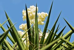 Blooming yucca royalty free stock image