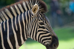 Beautiful zebra Stock Images