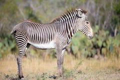 Beautiful zebra calf Stock Photo