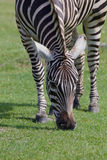 Beautiful zebra close-up Stock Photo