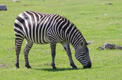 Beautiful zebra Royalty Free Stock Photo