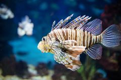 Beautiful zebra fish or striped lionfish. In the aquarium stock photo