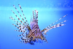 Beautiful zebra fish or striped lionfish in the aquarium Stock Images
