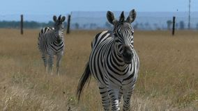 A beautiful zebra goes to a cameraman waving its mane in slo-mo. An exitng view of two striped zebras standing on a ripe yellow lawn on Dzharylhach island on a stock video footage