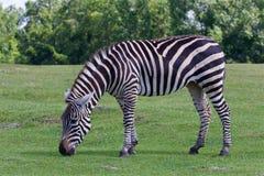 Beautiful zebra on the grass field Stock Photo