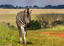 Beautiful Zebra incoming Stock Image