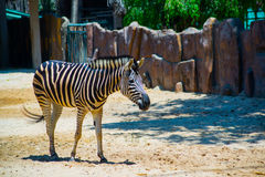 Beautiful Zebra in the oldest Zoo in Vietnam in Ho Chi Minh City. AZ. Ordinary Zebra is walking in the zoo near the fence. The country of Vietnam, Hochiminh city Stock Photography