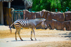 Beautiful Zebra in the oldest Zoo in Vietnam in Ho Chi Minh City. AZ Stock Photo