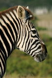 Beautiful zebra portrait. A portrait of a beautiful african zebra in a game park Stock Image