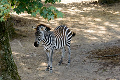 Beautiful zebra in the shade. Beautiful zebra standing enjoying the shade of the nearby tree Royalty Free Stock Photo