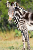 Beautiful zebra Stock Photos