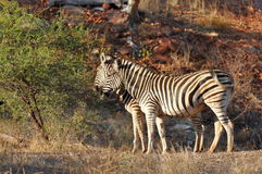 Beautiful zebras. Photo taken in Mapungubwe national reserve, South Africa Stock Image