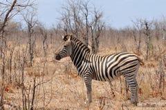Beautiful zebras Royalty Free Stock Photography
