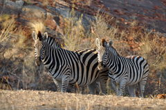 Beautiful zebras Royalty Free Stock Image