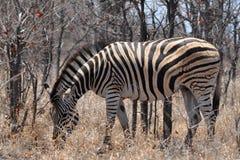 Beautiful zebras Stock Image