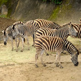 Beautiful Zebras Stock Photos