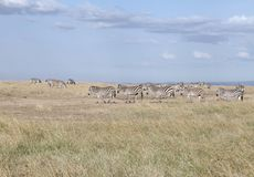 Beautiful zebras in the beautiful Ol Pejeta Conservancy landscape, Kenya. Ol Pejeta Conservancy is a vast game reserve in Kenya Stock Photo