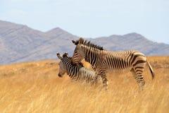 Beautiful zebras in dry savanna Namibia Stock Image