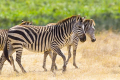 Beautiful zebras walking at the vast plains in Africa Royalty Free Stock Photos